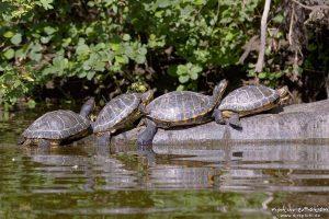 Rotwangen-Schmuckschildkröte, Trachemys scripta elegans, Emydidae, mehrere Tiere beim sonnenbaden auf einem ins Wasser ragenden Baumstamm, Kiessee Göttingen, Deutschland