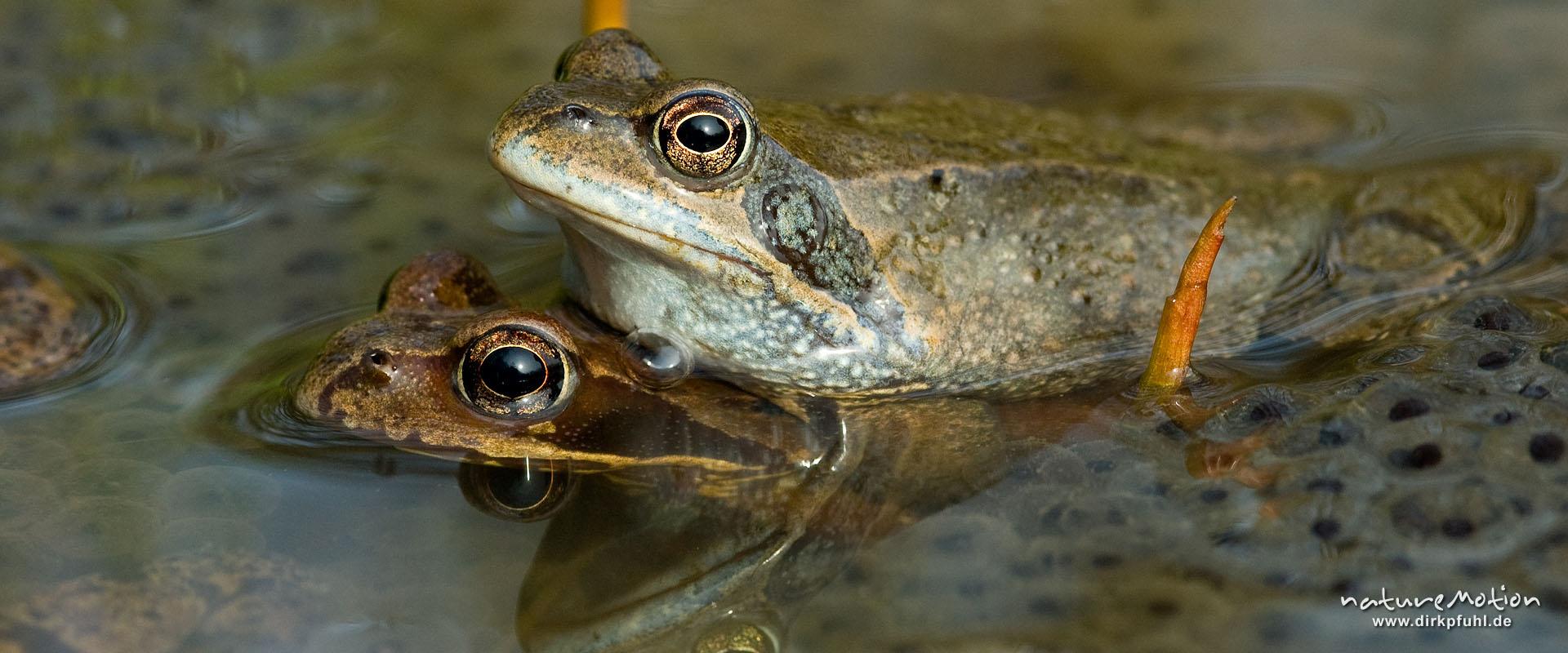 Grasfrosch - Paar zwischen Laich - Erlenbruch