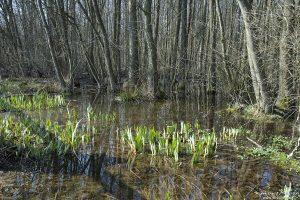 Erlenbruch mit stehendem Wasser, Sprösslinge von Wasserlilien, darin Grasfrosch, Rana temporaria, Herberhäuser Stieg, Göttingen, Deutschland