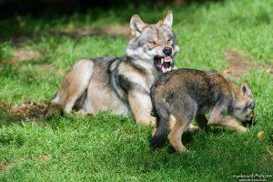Wolf, Canis lupus, Hunde (Canidae), Alttier droht Welpen, Tierpark Neuhaus