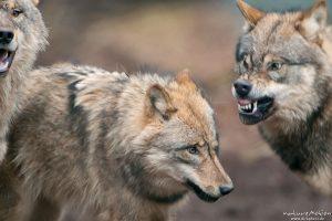 Wolf, Canis lupus, Aggression dominiert das Verhalten im Gehege, Tierpark Neuhaus