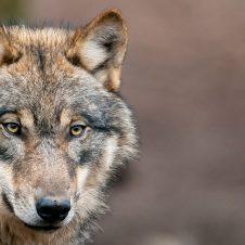 Der Wolf - Ein ganz normales Raubtier