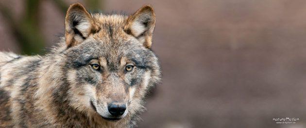 Wolf, Canis lupus, Hunde (Canidae), Tierpark Neuhaus, captive, Neuhaus, Deutschland