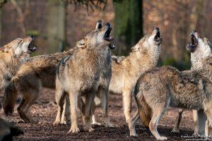 Wolf, Canis lupus, heulendes Rudel während der Ranz, Tierpark Neuhaus
