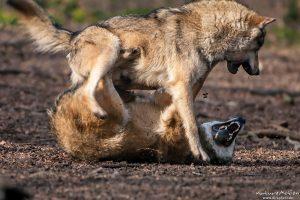 Wolf, Canis lupus, Kampf um die Rangordnung Tierpark Neuhaus
