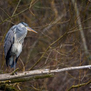 Graureiher, Ardea cinerea, Ardeidae, Tier steht an seinem Rastplatz, umgeborchener Stamm einer Weide direkt am Ufer, Abendlicht, Kiessee G?ttingen, A nature document - not arranged nor manipulated, Göttingen, Deutschland