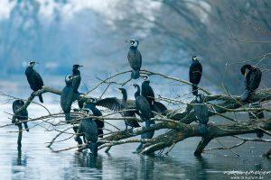 Kormoran, Phalacrocorax carbo, Phalacrocoracidae, Tiere auf überhängenden Zweigen am Seeufer, trocknen Gefieder