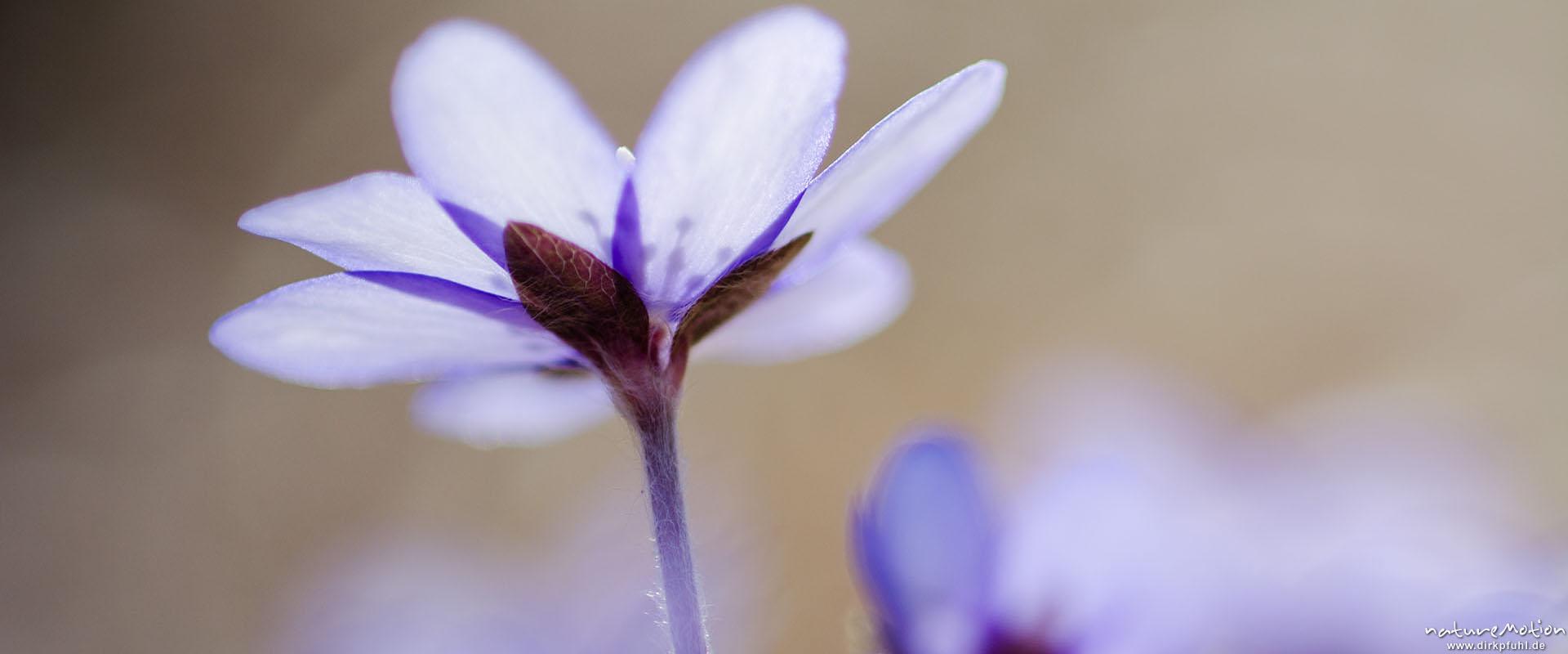 Leberblümchen, Hepatica nobilis, Blüten