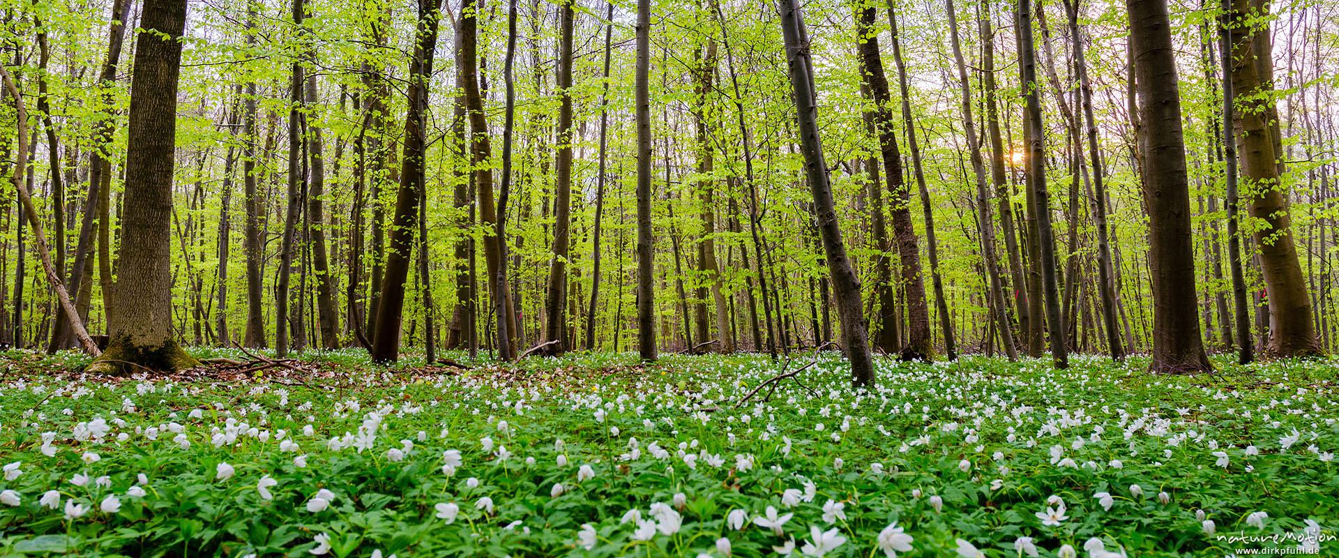 Buschwindröschen blühen im Frühlingswald, Göttinger Wald