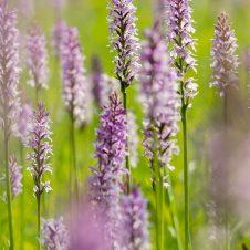 Orchideen – Blütenmeer auf dem Kerstlingeröder Feld