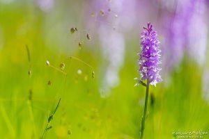 Geflecktes Knabenkraut, Dactylorhiza maculata, Orchideen (Orchidaceae),blühende Pflanzen in dichtem Bestand, Mehrfachbelichtung, Kerstlingeröder Feld, Göttingen, Deutschland