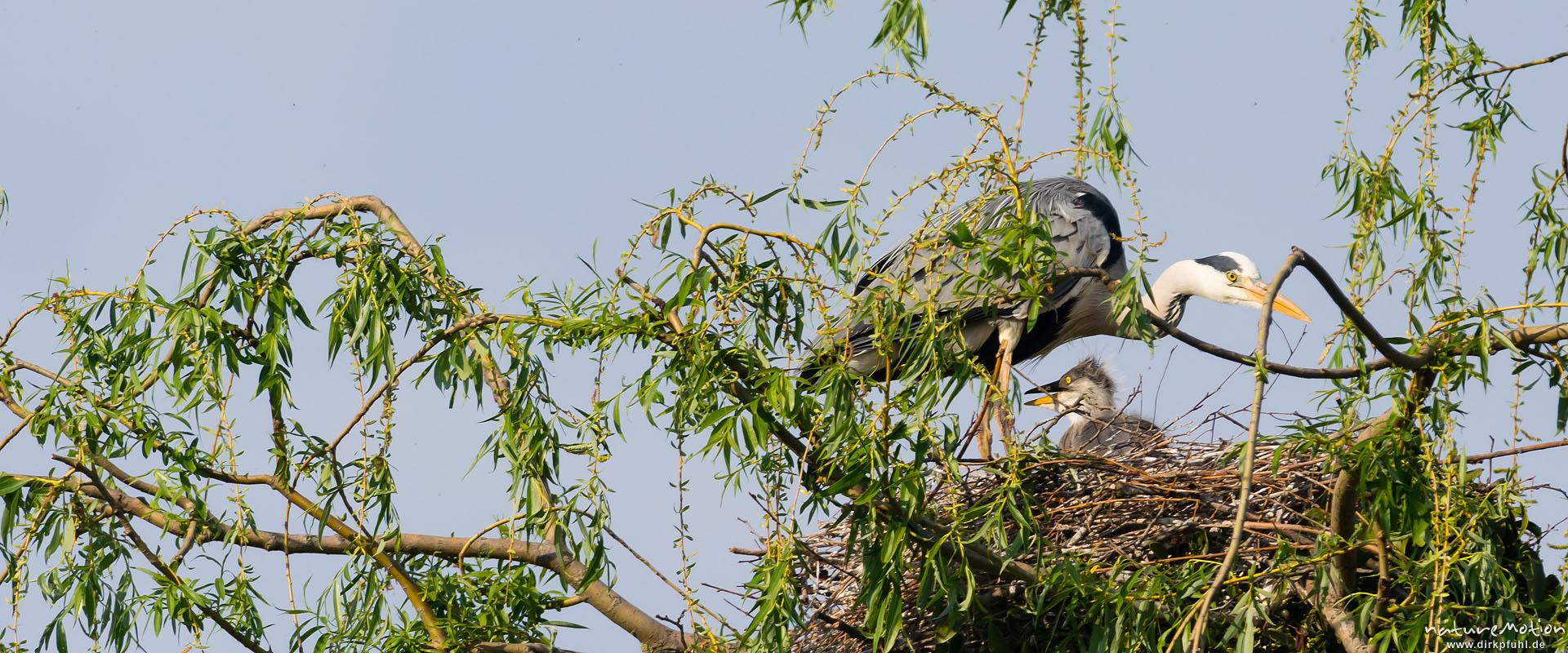 Graureiher, Alttier und Küken im Nest, Levinscher Park, Göttingen