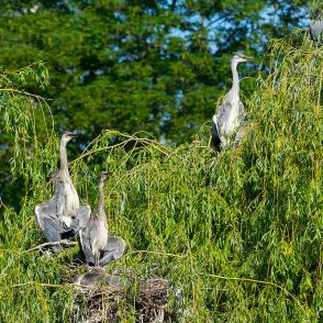 Graureiher, Ardea cinerea, Ardeidae, Jungtiere im Nest, Sonnebad mit halb ausgebreiteten Schwingen, kleine Brutkolonie in einer Weide inmitten eines Teiches, Levinscher Park, A nature document - not arranged nor manipulated, Göttingen, Deutschland