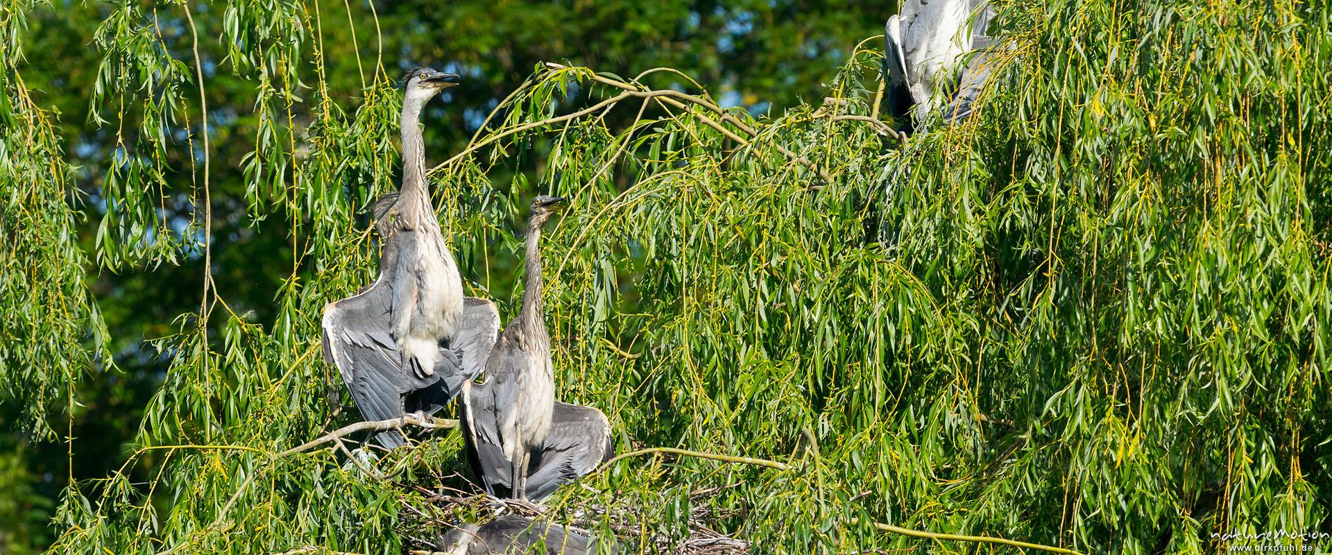 Graureiher, Ardea cinerea, Ardeidae, Jungtiere im Nest, Sonnenbad mit halb ausgebreiteten Schwingen, Levinscher Park, Göttingen