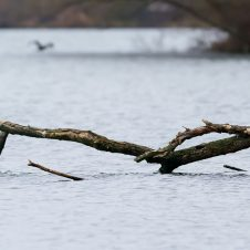 Graureiher am Göttinger Kiesssee – Januar 2015