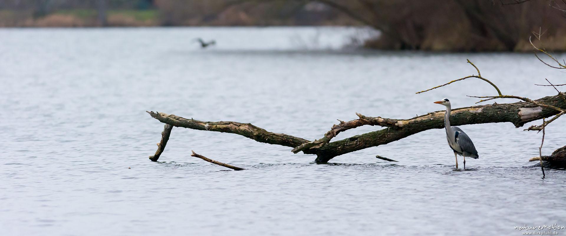 Graureiher verbringen die Wintermonate am Göttinger Kiesssee