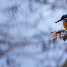 Eisvogel, Levinscher Park, Januar 2015