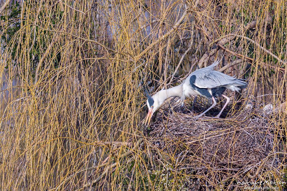 Graureiher – Nestbau und erste Paarung
