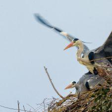 Graureiher – Paarungen und warten auf die Eiablage