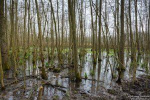 Erlenbruch am Herberhäuser Stieg, Frühjahrsaspekt, Göttinger Wald