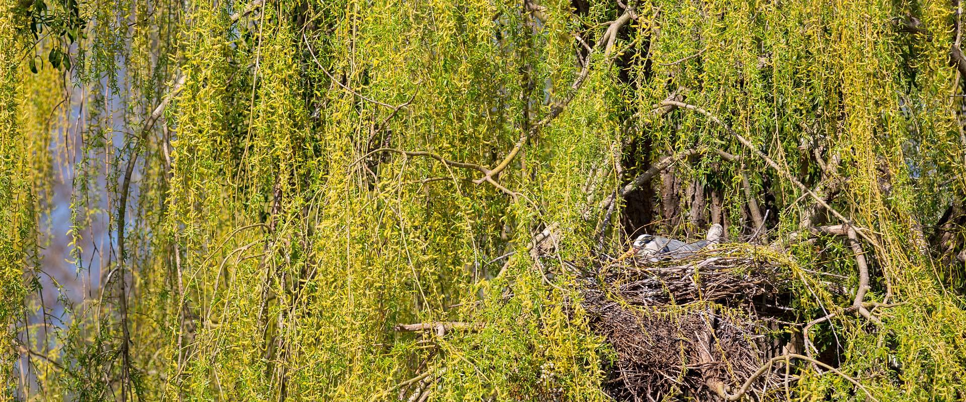 brütender Graureiher im Levinschen Park