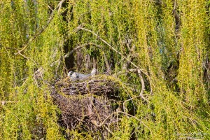 Graureiher, Ardea cinerea, Ardeidae, br?tender Altvogel im Nest,