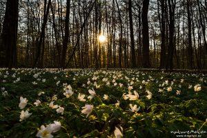 Buschwindröschen im letzten Tageslicht, Göttinger Wald