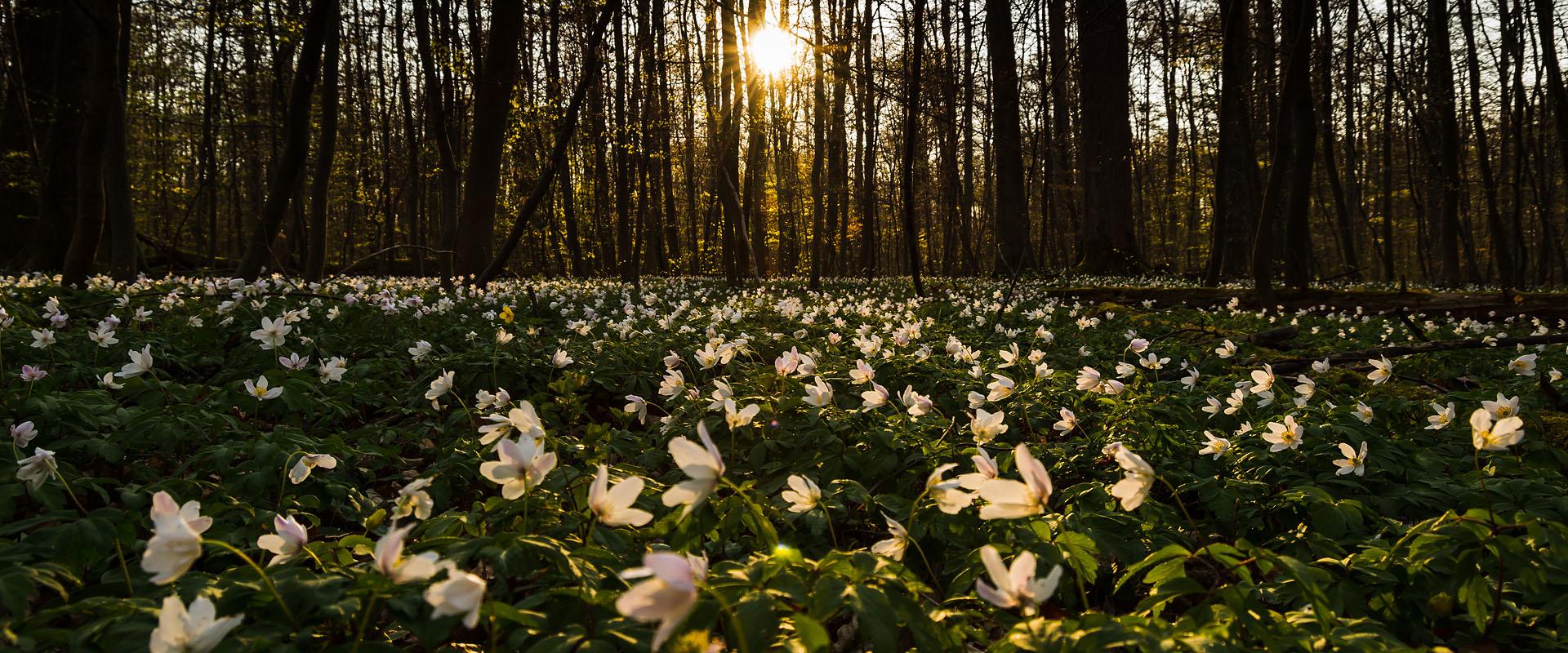 Sonnenuntergang über blühendem Waldboden, Buschwindröschen, Göttinger Wald