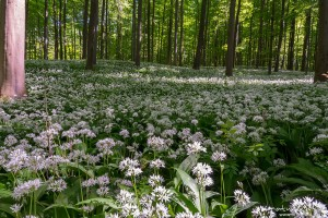 Bärlauch, Allium ursinum, Liliaceae, dichter Bestand blühender Pflanzen im Buchenwald, Göttingen, Deutschland