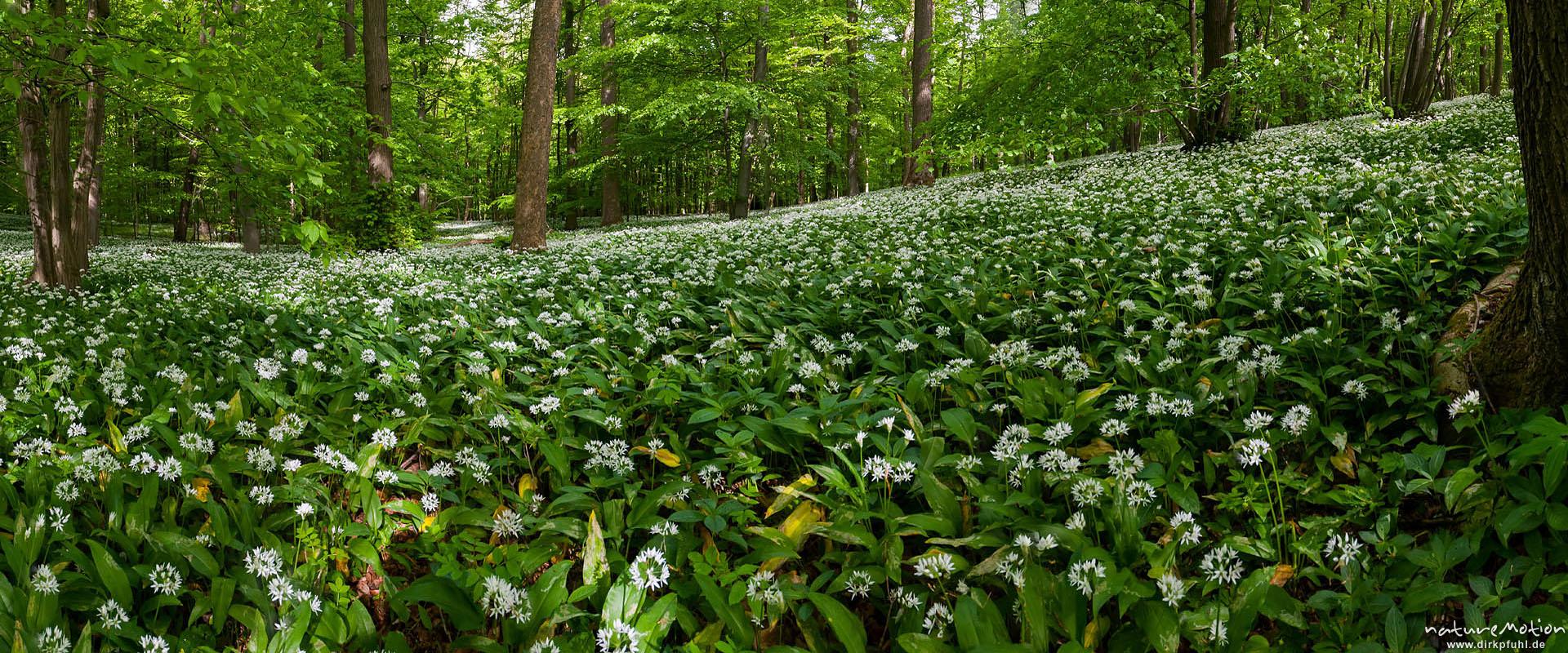 Bärlauch, Allium ursinum, Liliaceae, dichter Bestand blühender