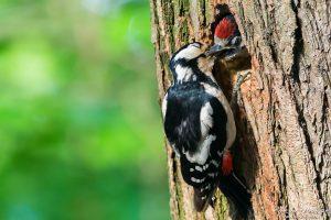 Buntspecht, Dendrocopos major, Spechte (Picidae), Weibchen, füttert Küken am Eingang zur Nisthöhle, Levinscher Park, Göttingen, Deutschland