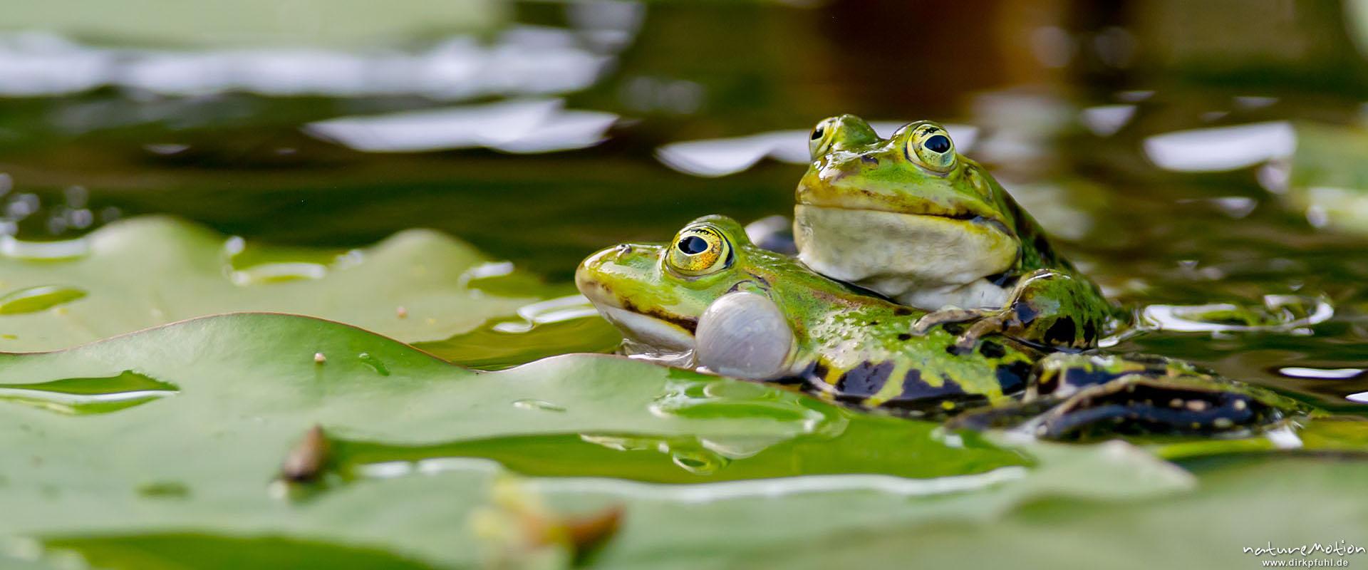 Teichfrosch-Männchen kämpfen um Reviere