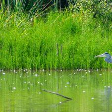 Graureiher und Eisvogel – Sommertag an der Rosdorfer Tonkuhle