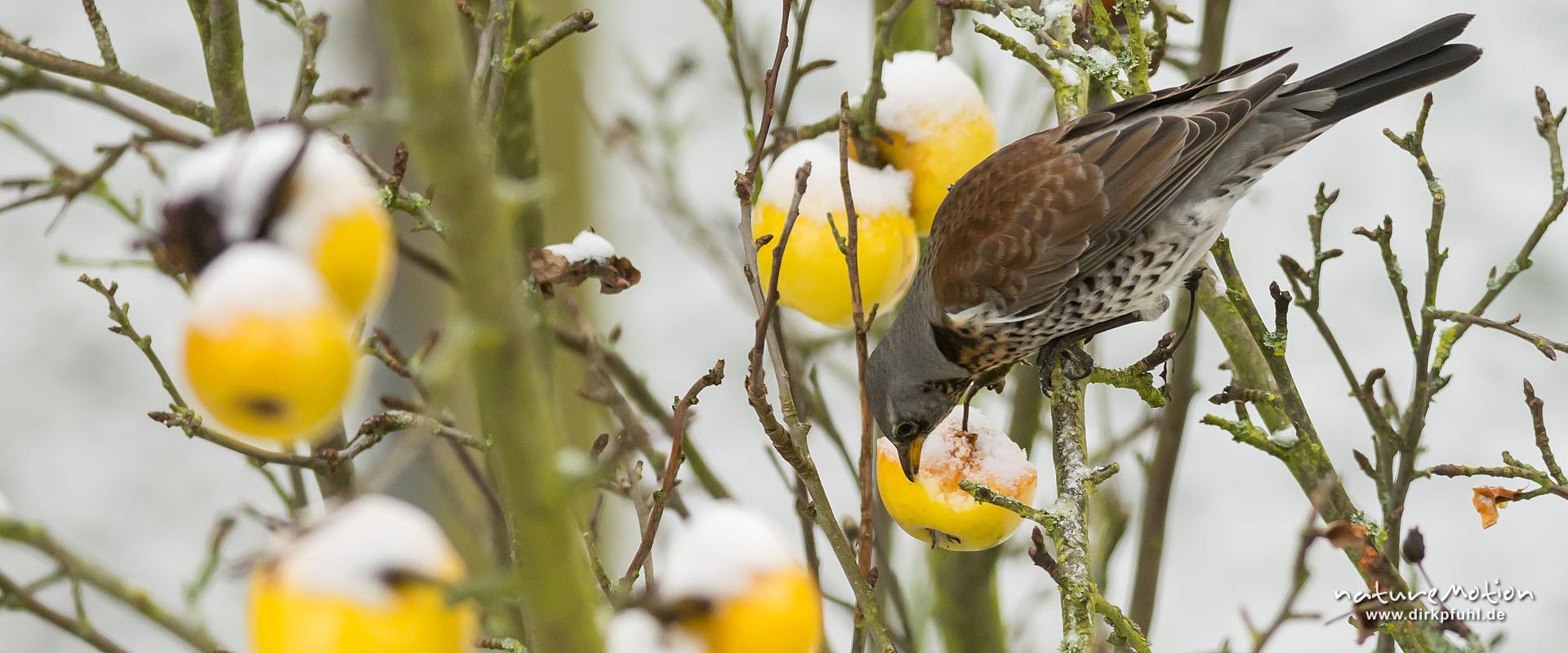 Wacholderdrossel, Turdus pilaris, Drosseln (Turdidae), Tier sitzt in einem Apfelbaum und frisst von Äpfeln, die dort hängen geblieben sind, Garten, frischer Schnee, Göttingen, Deutschland