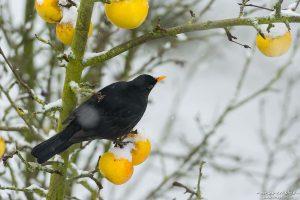 Amsel, Schwarzdrossel, Turdus merula, Drosseln (Turdidae), Männchen, frisst an Äpfeln die im Baum hängen geblieben sind, frsicher Schnee, Am Weißen Steine, Göttingen, Deutschland