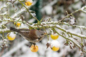 Wacholderdrossel, Turdus pilaris, Drosseln (Turdidae), Amsel,frisst an Äpfeln die im Baum hängen geblieben sind, frsicher Schnee, Am Weißen Steine, Göttingen, Deutschland