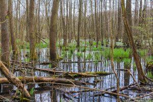 gefluteter Erlenbruch im Frühjahr, Wasserflächen und sprießendes Schilf, Tripkenpfuhl, Göttinger Wald Göttingen, Deutschland