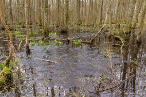 Mitte März 2017: vergleichsweise wenige Laichballen des Grasfroschs im Erlenbruch