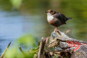Wasseramsel, Cinclus cinclus, Wasseramseln (Cinclidae), Tier sitzt auf Plastikmüll am Ufer der Grone, Levinscher Park, Göttingen, Deutschland