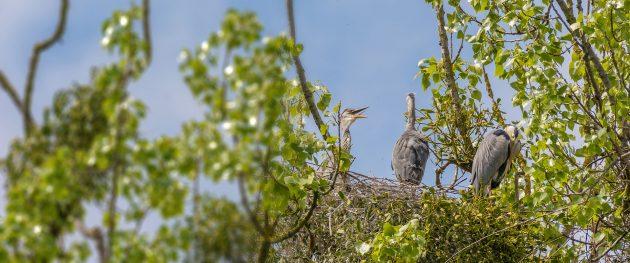 Graureiher, Nest mit Jungtier, Kiessee Göttingen