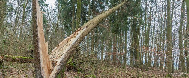 umgeknickte Fichte im Göttinger Wald, Windwurf durch den Sturm Friederike