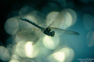 Blaugrüne Mosaikjungfer, Aeshna cyanea, Aeshnidae, Männchen, Flug, Lichtreflexe