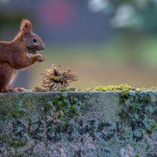 Eichhörnchen sammeln Wintervorräte